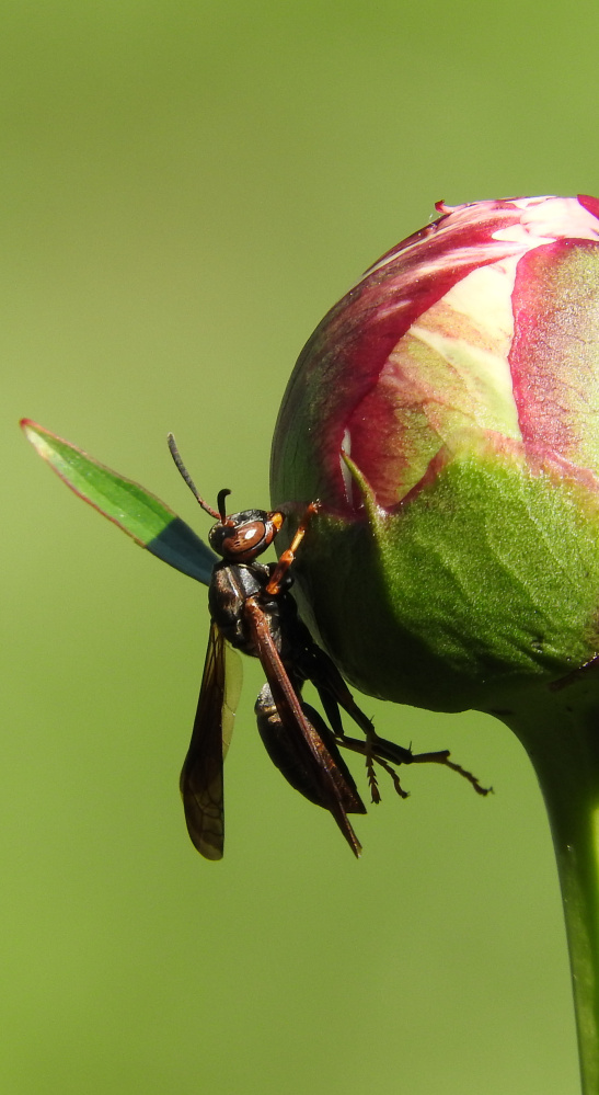 An apple a day ... well this one might not be so healthy until the hornet has had its fill in Bruce Lovering's garden in North Yarmouth.