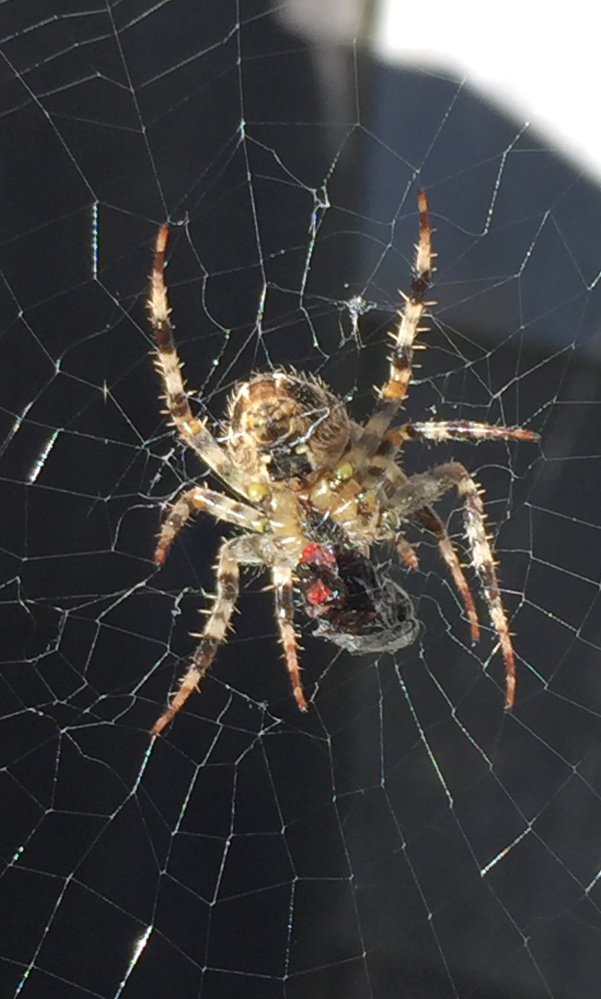 Like Hannibal Lecter, the spider is having an old friend over for dinner in Engel Mainit's backyard at Old Orchard Beach.