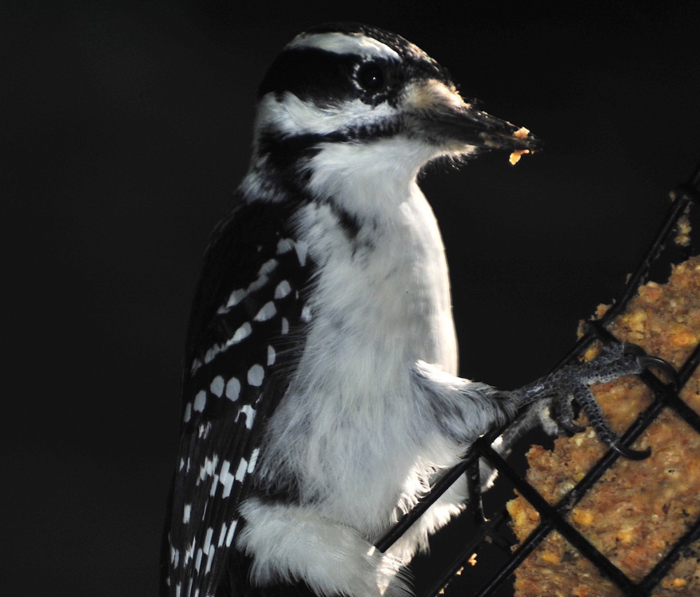 Erik Bartlett says all the birds in his Casco yard are feeding heavily, including this female hairy woodpecker.