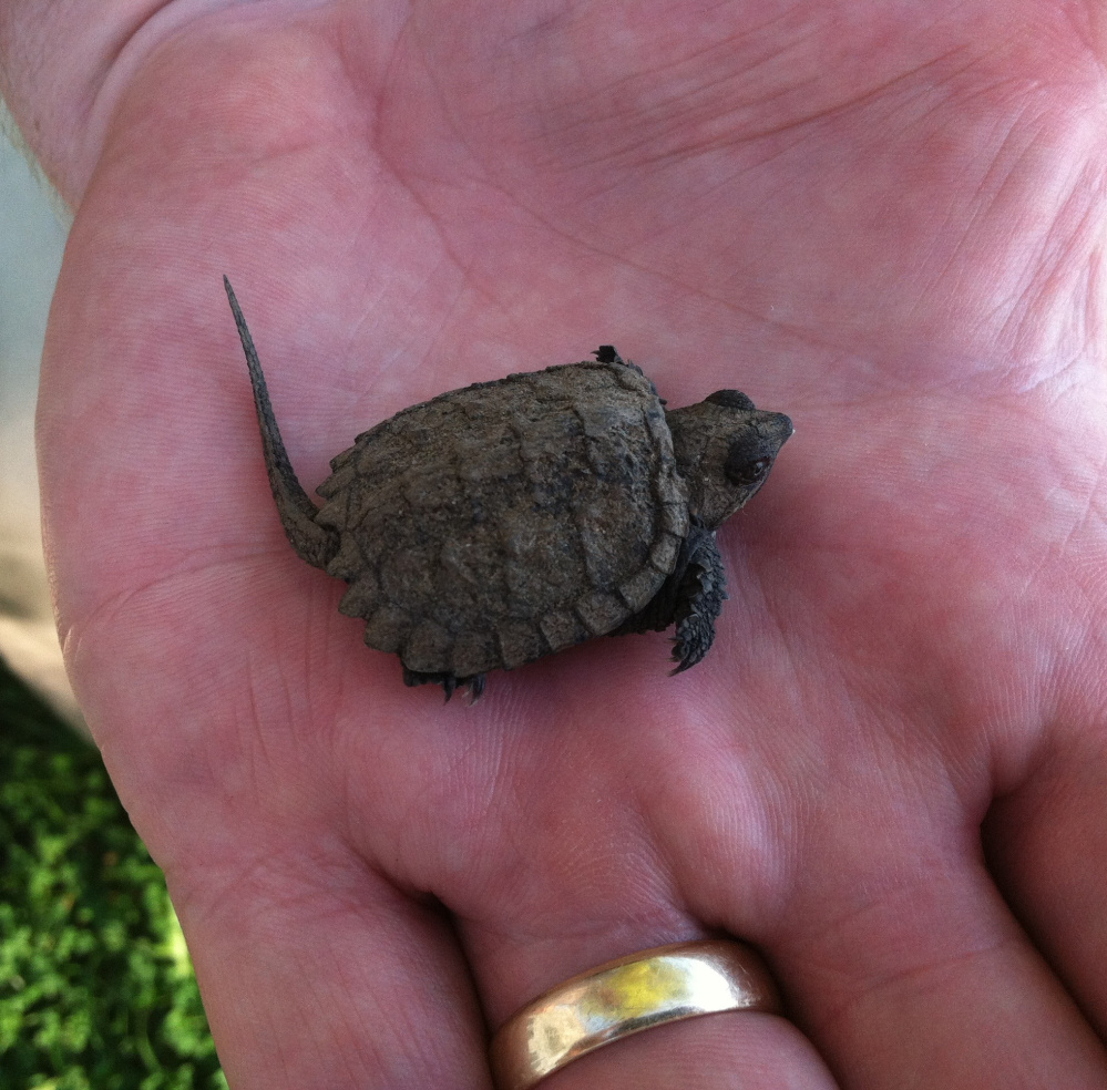 This little snapper is lucky that Donna Morton rescued it from her driveway and brought it to Thomas Pond in Casco, where it swam away.