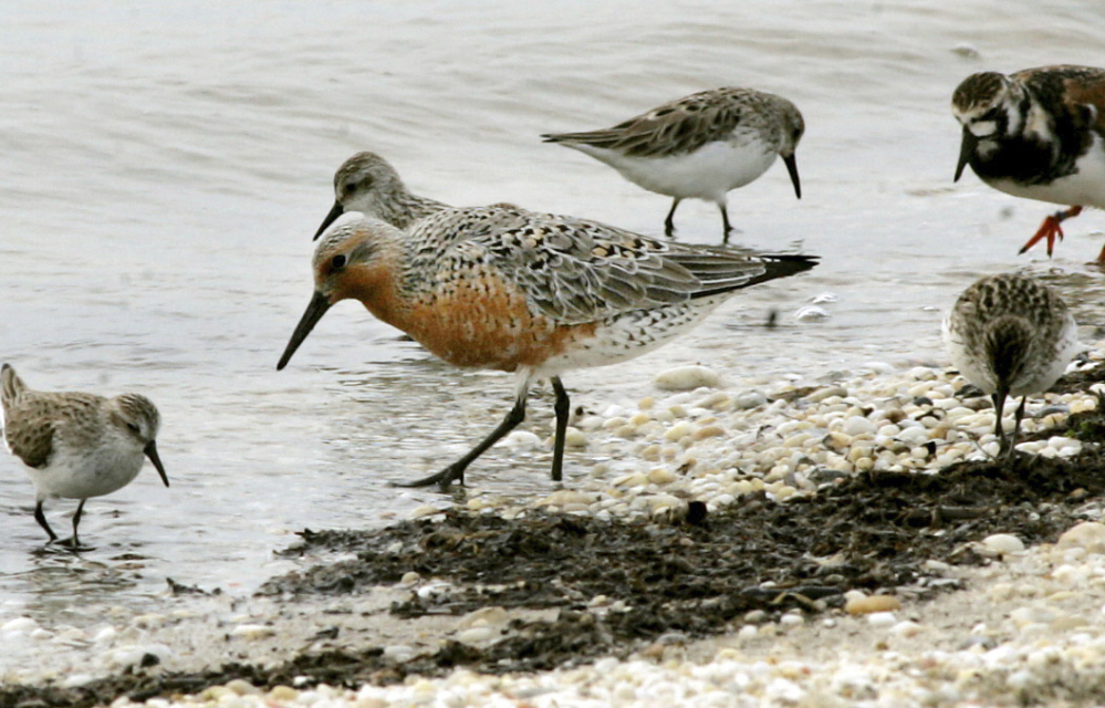 The Jersey shore has long been a critical resting and feeding ground for red knots, which migrate between South America and the Arctic, but some scientists and bird lovers say the birds can't easily coexist with the increasing number of  Delaware Bay shellfish farms.