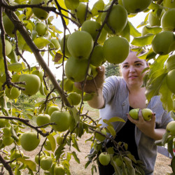 Megan McVey of Saco picks Golden Delicious apples Monday at Orchard Hill Farm in Cumberland. Experts and orchard owners say a combination of factors is likely behind this year's bumper crop. Apple trees tend to be cyclical, and this is a peak year for the harvest, plus good weather in the spring and summer played a role.