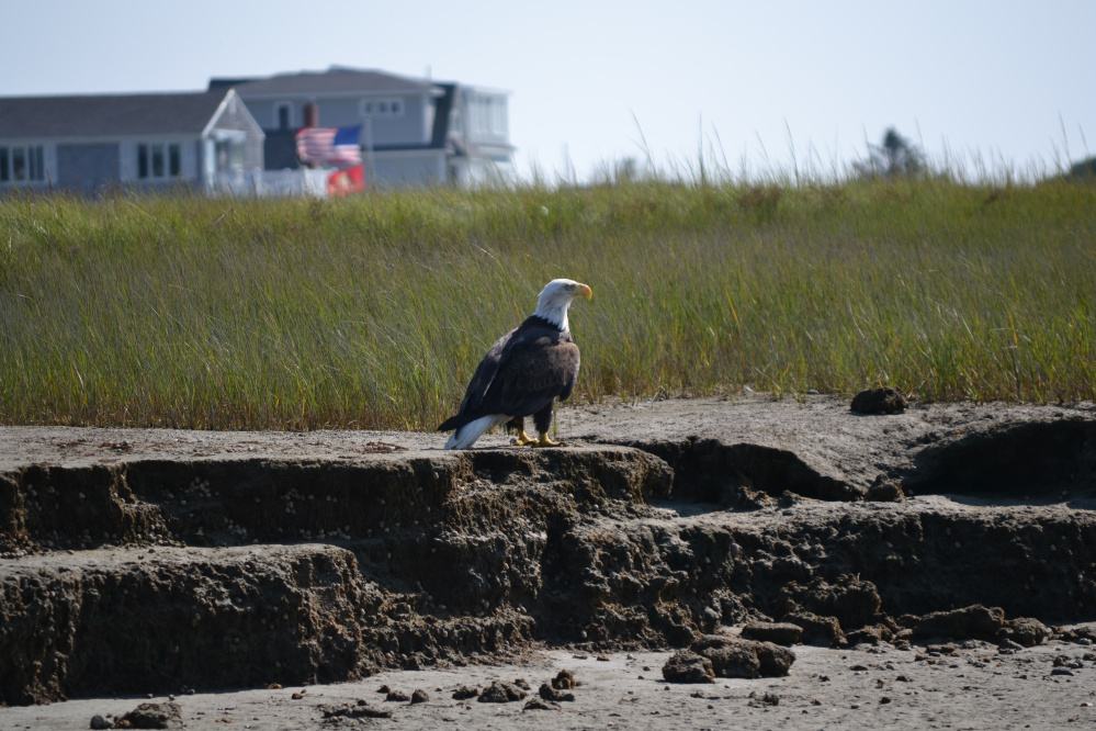 A bald eagle surveys its temporary domain in the marsh at Wells Beach, where Kathleen Hebden of Moody took this shot over Labor Day weekend. All other birds cleared out while the eagle made its rounds.