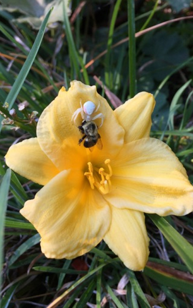 Flowers are also a good place to grab a nice bite, as this arachnid demonstrates in J.P. Booth's flower garden in Kennebunk.