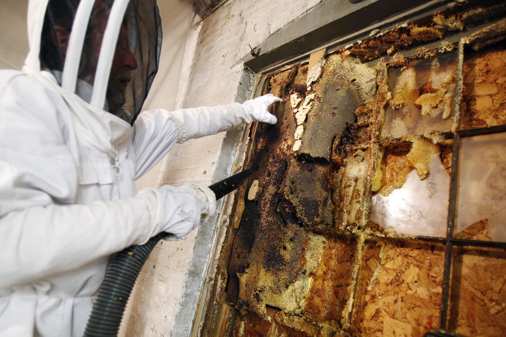 A beekeeper vacuums bees from a giant hive found in a wall at a furniture store in Pittsfield, Mass. They were transferred to man-made hives and the honey was given away.
