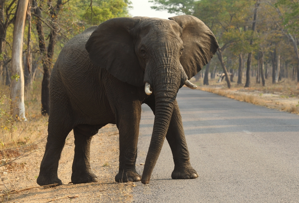 An elephant crosses the road Friday in Hwange National Park, southwest of Harare, Zimbabwe.