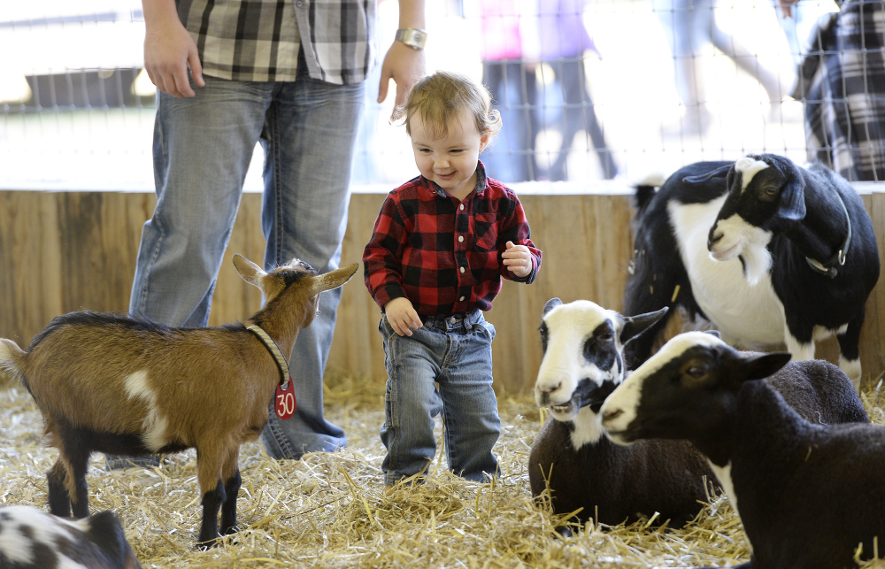 Benjamin Roche roams the petting zoo at the Fryeburg Fair. His mother, Jessica Roche, watched from a nearby fence with sanitizing wipes ready to use on her 19-month-old.