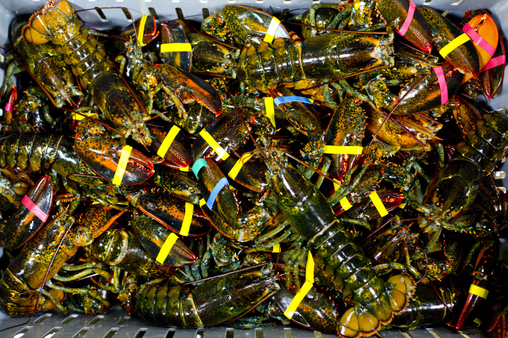 Small lobsters sit in a crate before being unloaded at Free Range Fish & Lobster on Commercial Street in Portland. Dealers are paying Maine lobstermen around $4 a pound for lobsters, 50 cents to $1 more than last year.