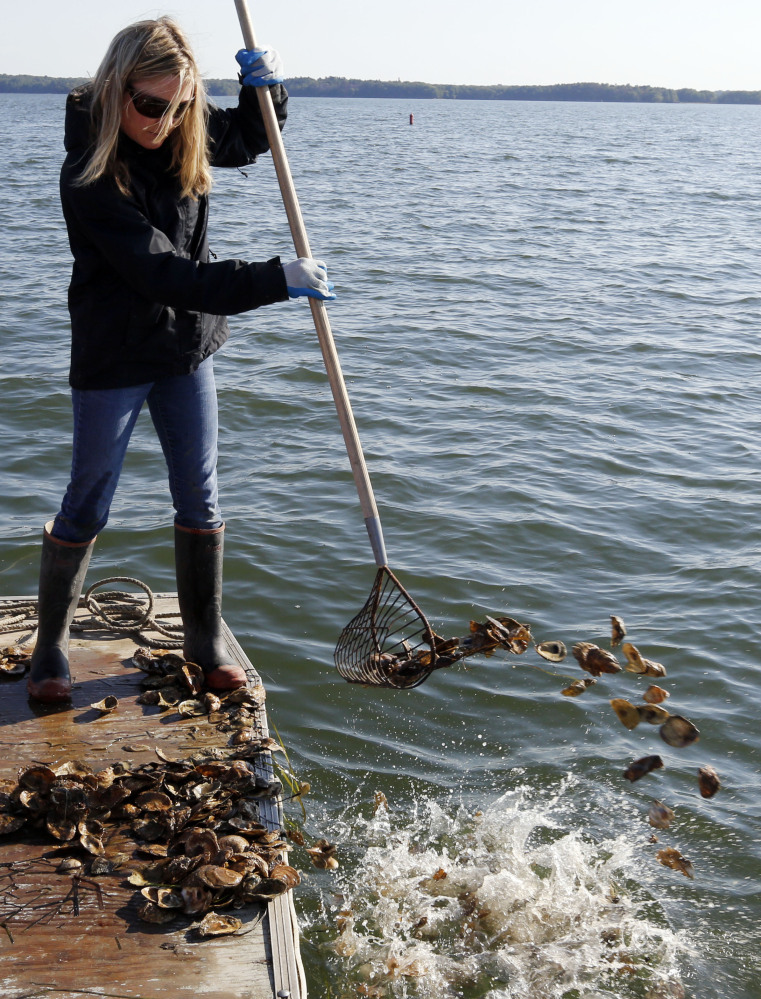 Krystin Ward rakes oyster shells into Great Bay to help rejuvenate a reef off Newmarket, N.H. The University of New Hampshire has added over 18 acres of reefs and over 3 million oysters to the ecosystem in the last six years.