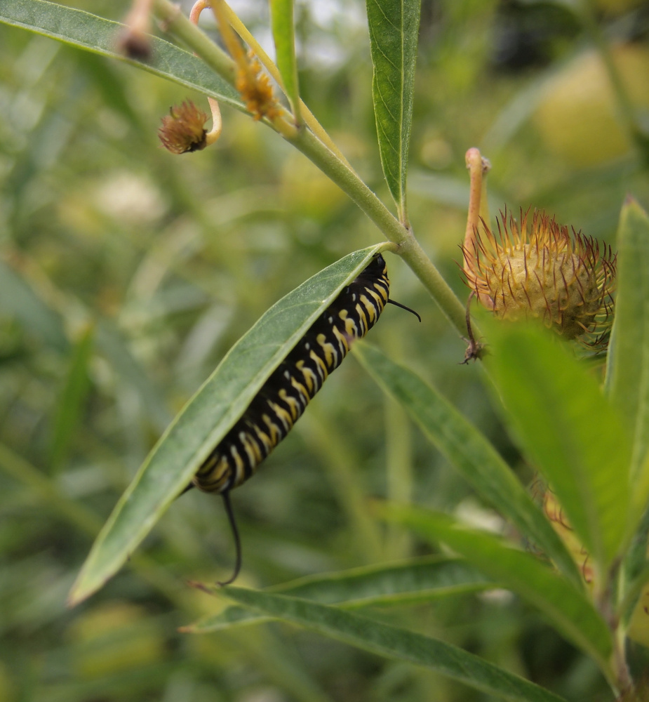 Roger Marchand of Gorham spotted this monarch butterfly caterpillar on a milkweed leaf while visiting the Coastal Maine Botanical Gardens in Boothbay.