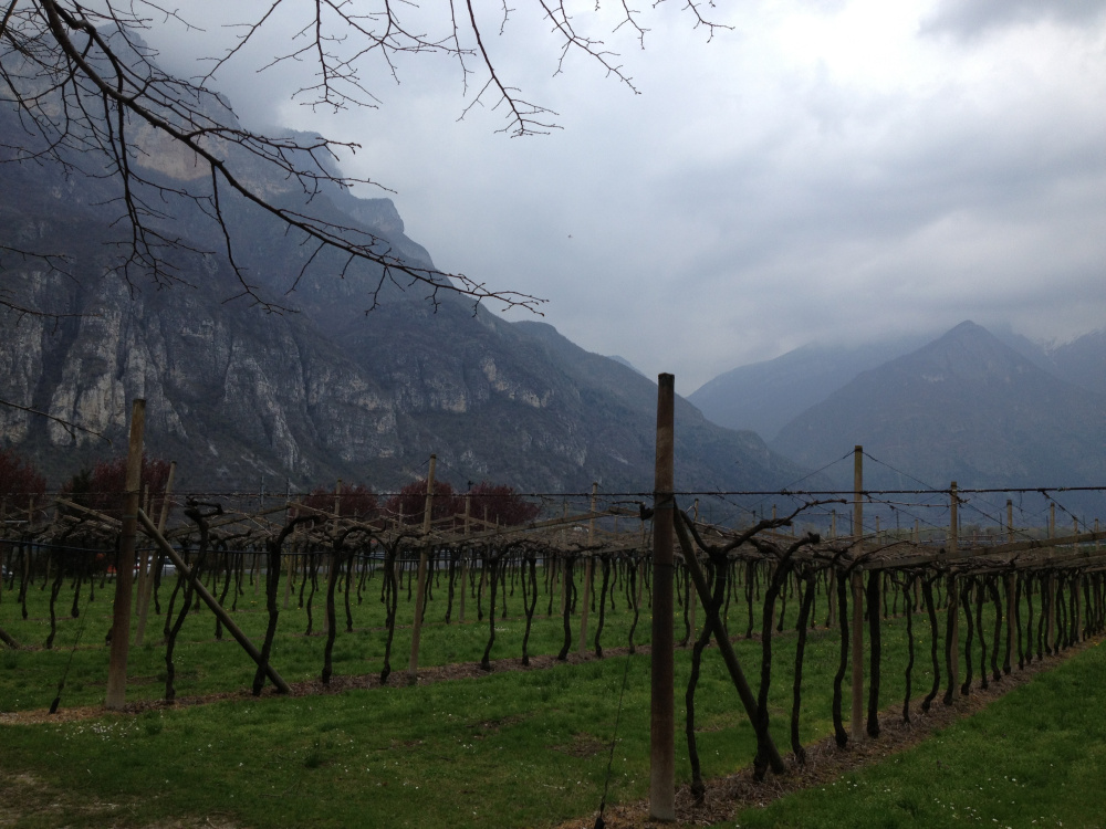 The vineyards of Trentino in the Dolomite foothills grow one of Italy's more distinctive grapes, teroldego.