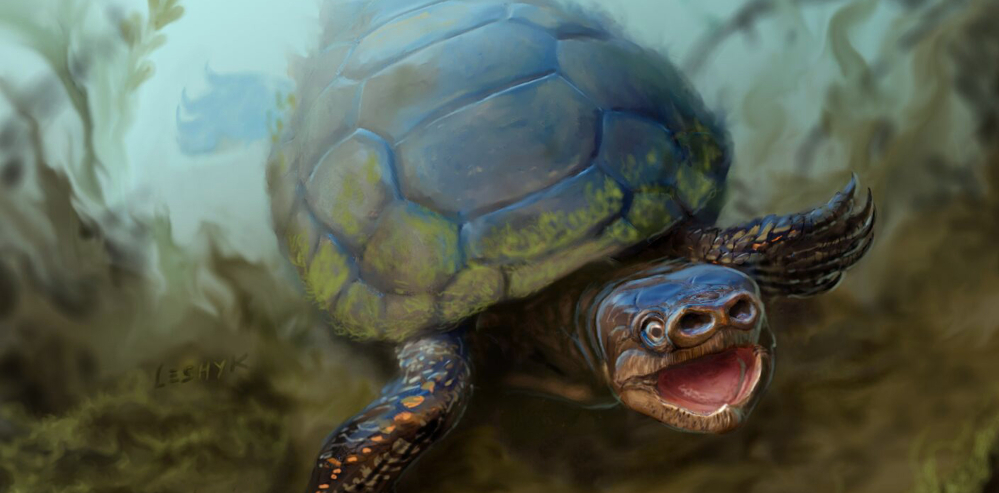 The University of Utah has announced the discovery of fossils of a pig-snouted turtle that lived during the Cretaceous Period, about 76 million years ago.