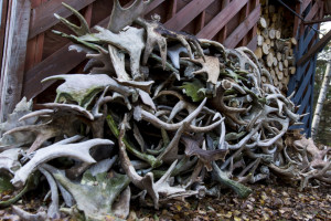 This 600-pound pile of moose antlers lies outside Liz Walker's home in Rangeley. Walker and her boyfriend collect the antlers, which are shed every season. . Ben McCanna/Staff Photographer