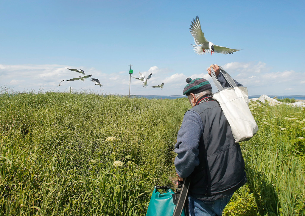 An arctic tern swoops down toward Kress as he leaves Eastern Egg Rock. The terns swoop threateningly at people when they travel through the birds' nesting areas on the island.