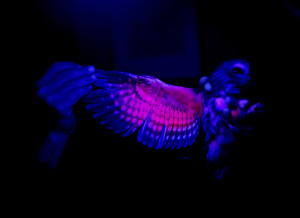 Camuso spreads the wing of an Eastern Saw-whet Owl under a ultraviolet light to show visitors how your can determine the age of the owl by the amount of blood supply (pink) in their feathers. Derek Davis/Staff Photographer