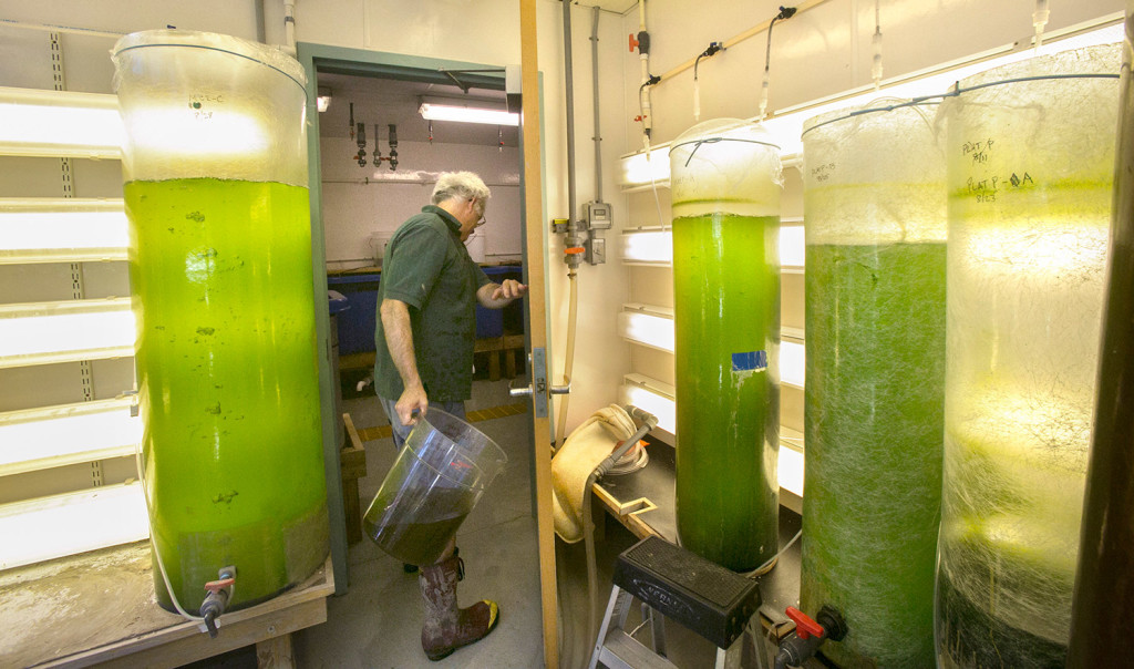 """Devin carries a bucket of algae into a room where he is raising mussels, which feed on the algae. """"Mussel farmers have been able to just throw their lines out and collect all the larvae they want from nature,"""" he said. """"But mussel populations are down drastically in this state, so that may not be working so well now."""""""
