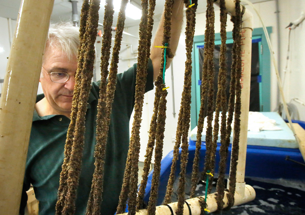 Mick Devin looks over mussels he is raising in the shellfish hatchery at the Darling Marine Center in Walpole. Devin is experimenting with raising mussels in the hatchery because the wild mussel population in Maine has been decimated by predators and possibly increased acidity in the Gulf of Maine, impeding the ability for mussel farmers to grow aquaculture mussels on ropes. Devin is a marine biologist and shellfish hatchery manager at the Darling Marine Center as well as a Democratic Representative for District 90 and a co-chair of the commission that looked into the impacts of ocean acidification in the Gulf of Maine.