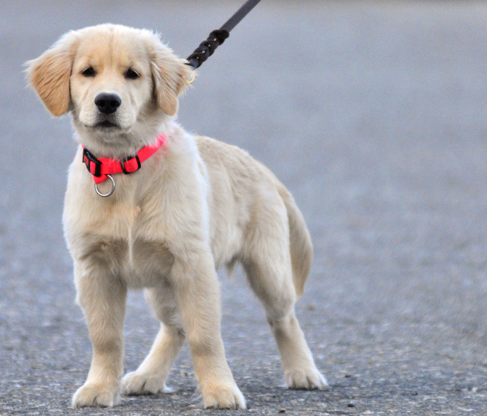 AmyLou Craig's puppy, Brewer, stands in a parking lot near the Kennebec River Rail Trail in Augusta.