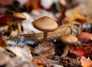 Little brown mushrooms, also known as LBM's, rest on the forest floor at Negutaquet Conservation Area.