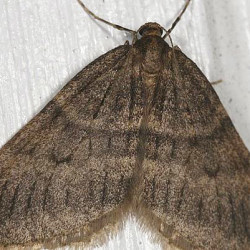 While the moths are visible in early winter – hence, their name – their damage is done in the spring, when the eggs they lay on tree trunks hatch. The larvae crawl up and burrow into and eat both leaf and flower buds of many trees and bushes, including oak, maple, apple, elm, ash, crabapple, cherry and blueberry. Photo courtesy WCSH.
