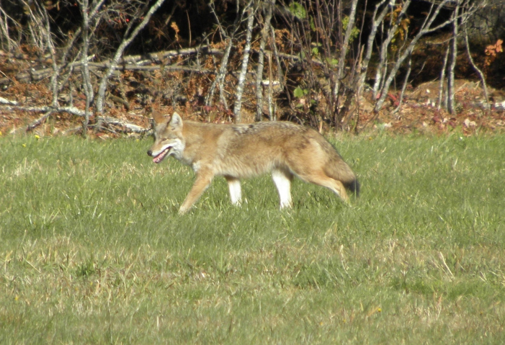 Rodents, take notice ... this coyote is asserting itself on the higher rungs of nature's food chain as it patrols a field in Casco, where Bruce Small of Raymond – a frequent contributor to this section – notes that judging from its handsome coat, this is one wily predator.