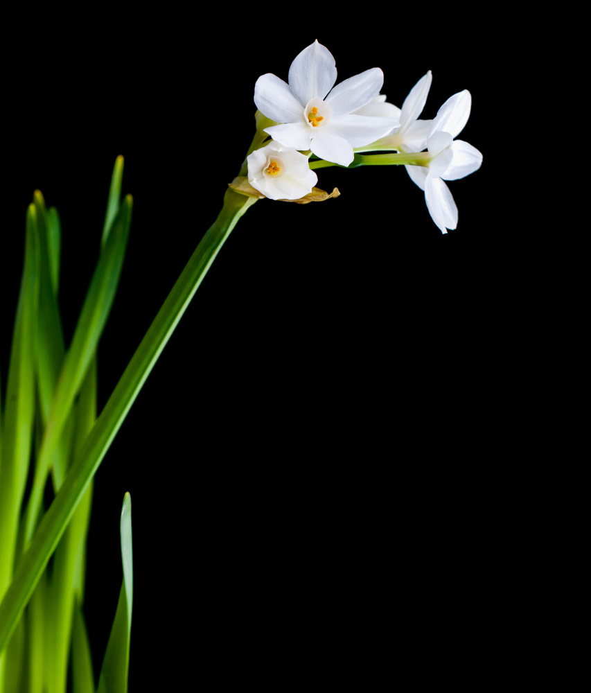 Houseplants, like the narcissus favored by E.B. White, can make the air in your home cleaner.