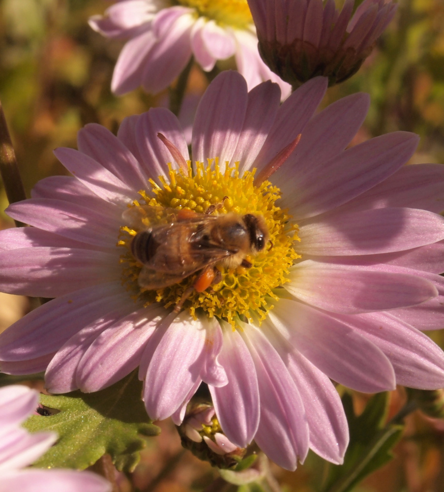 This late-pollinating, heavily laden, honey bee found the Michaelmas Daisy in Roger Marchand's backyard in Gorham.