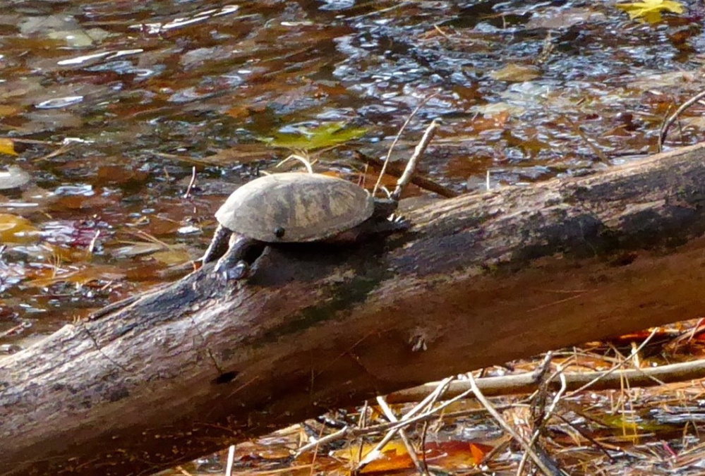 Better soak in the 70-degree days while they last, especially if you're a musk turtle – sometimes referred to as a stinkpot – that soon will be seeking winter refuge in the mud of Bridgton's lake country. By Bill Preis, whose photos often grace these pages.