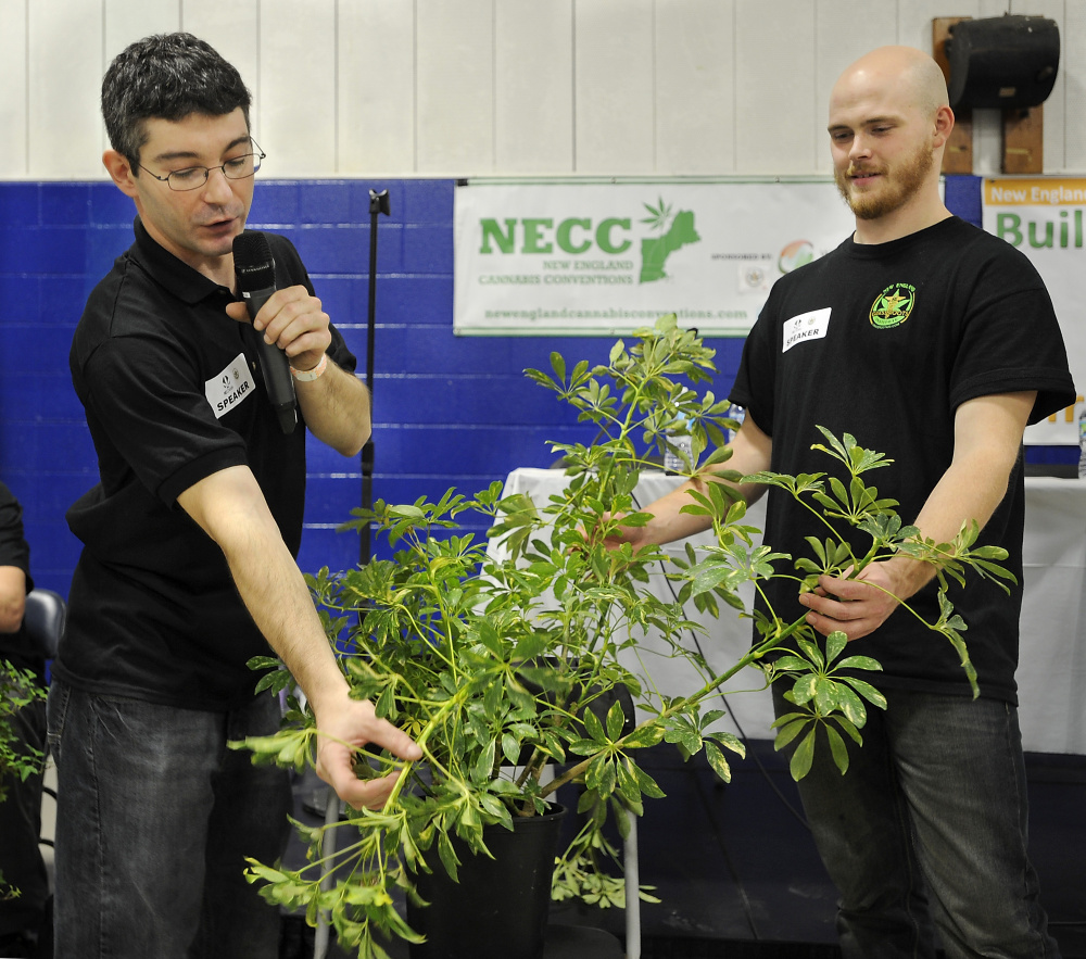 Derek Carme, left, explains how pruning procedures improve the yield of the marijuana plant, with assistant Pat Jordan, at the Portland Cannabis Convention at Hill Gymnasium on the USM campus in Portland. Gordon Chibroski/Staff Photographer