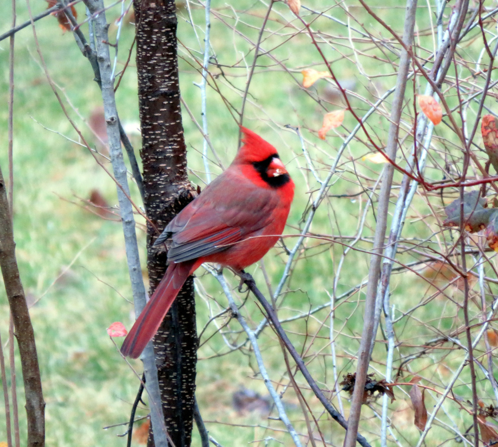 If this cardinal looks brilliant now, just think how much more he'll stand out once  the Alfred yard of Cathy Wilkie Conley is covered in snow.