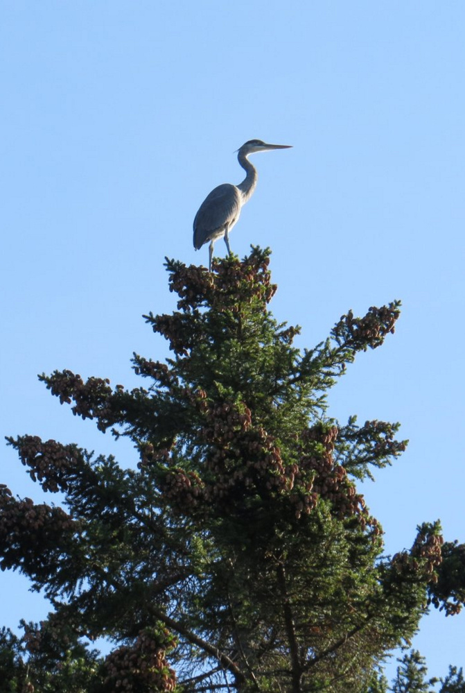 """Put a red scarf on this blue heron, and it just might look like an ornament atop a Christmas tree. Whatever the reason for the big bird to perch in the tallest pine in Emily MacKenzie's South Bristol yard, it had her dog barking like crazy. """"I've seen plenty of herons along the shore but had never seen one at the top of a very tall tree,"""" says MacKenzie."""