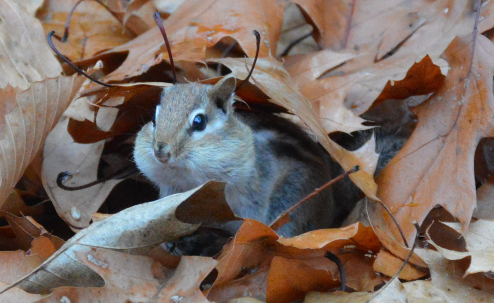Got to be some birdseed under those decaying leaves that soon will be lining the chipmunk's home somewhere in  Brian Lovering's North Yarmouth yard.