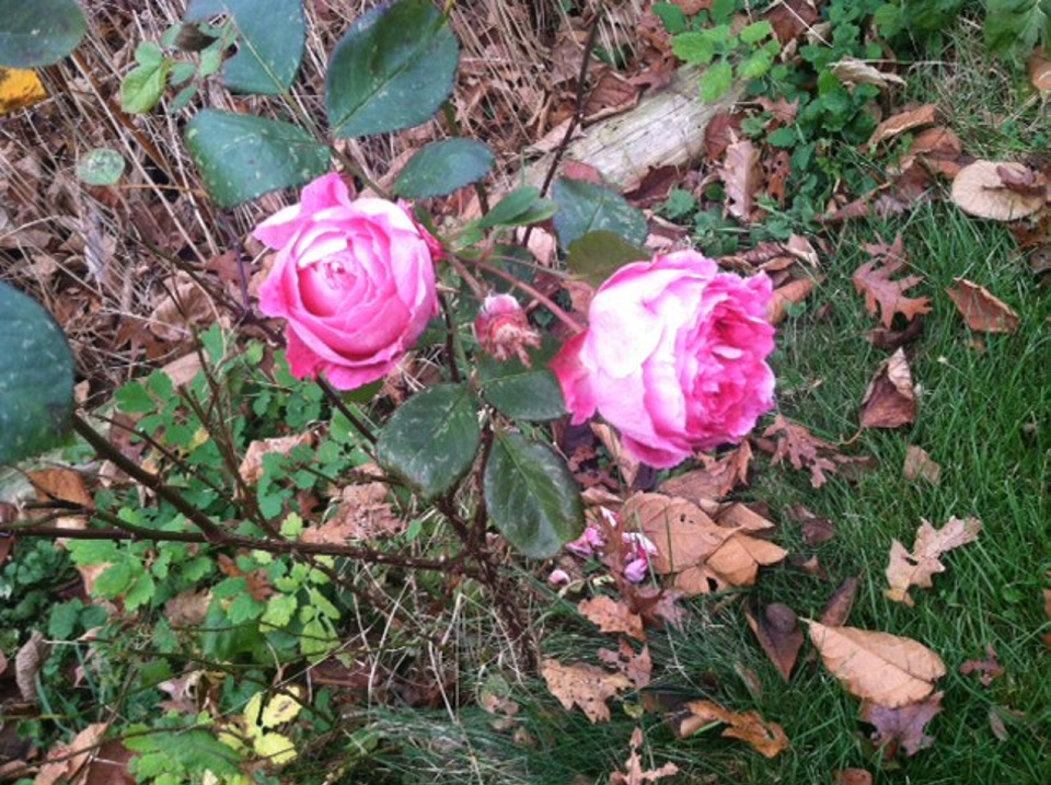A rose bush in Harpswell holds flowers in mid-November.