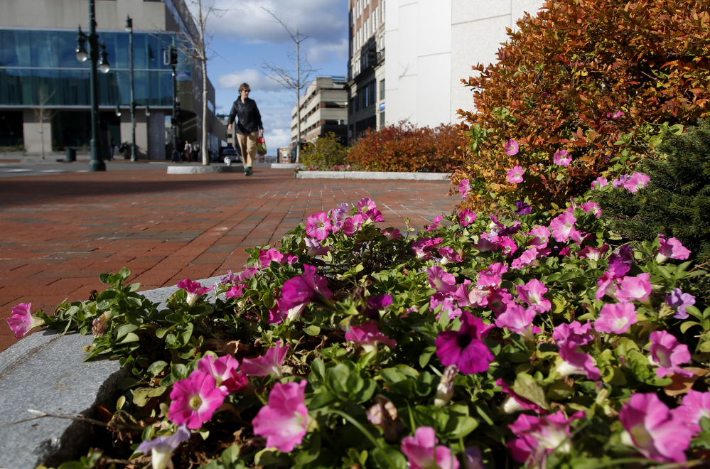 Petunias near One Monument Square in Portland are among plants that are blooming out of season around the city.