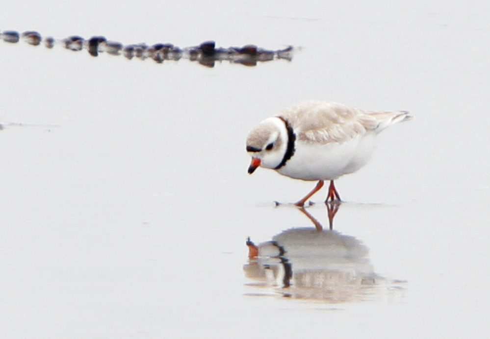 A piping plover forages along the shore of Goose Rocks Beach in Kennebunkport. The bird remains on the federal list of threatened species.