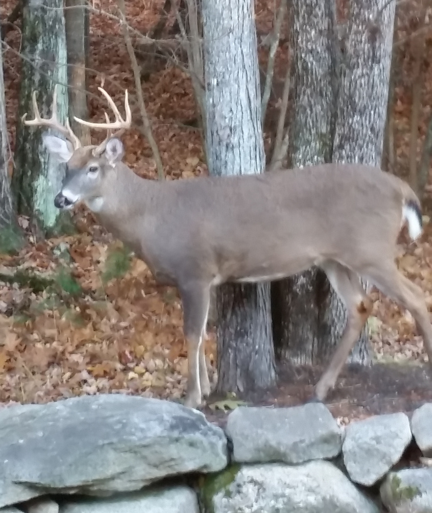 Either the big guy is looking for a mate or avoiding hunters – or both – as it visits Clyde Ricker's yard in Standish. Whatever the reason, he's a welcome guest.