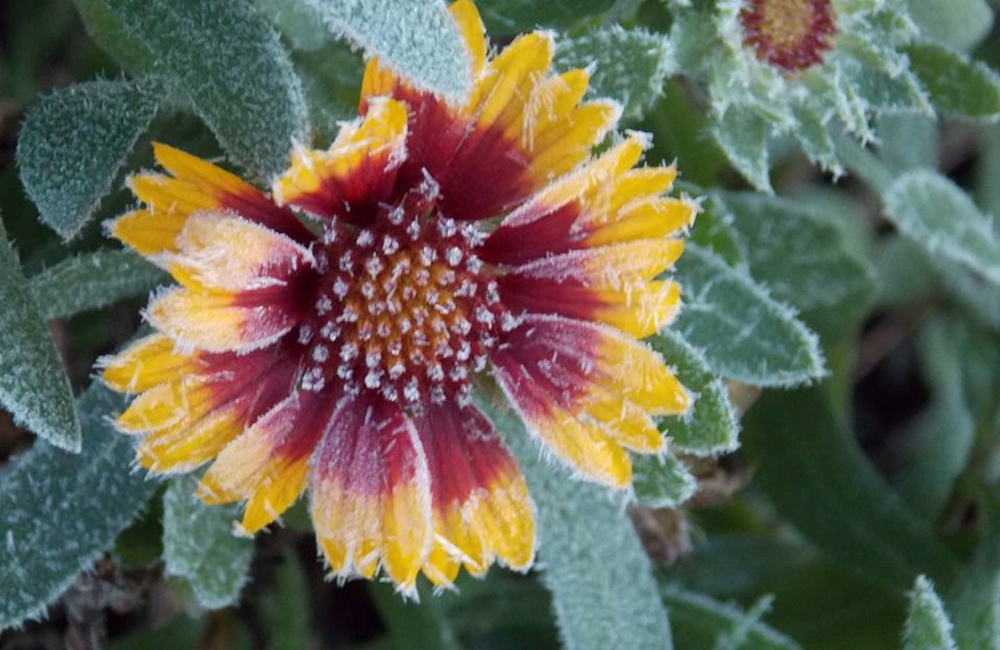 That's one stubborn flower retaining its glory in Kelly Mull's frosty garden in Scarborough ...