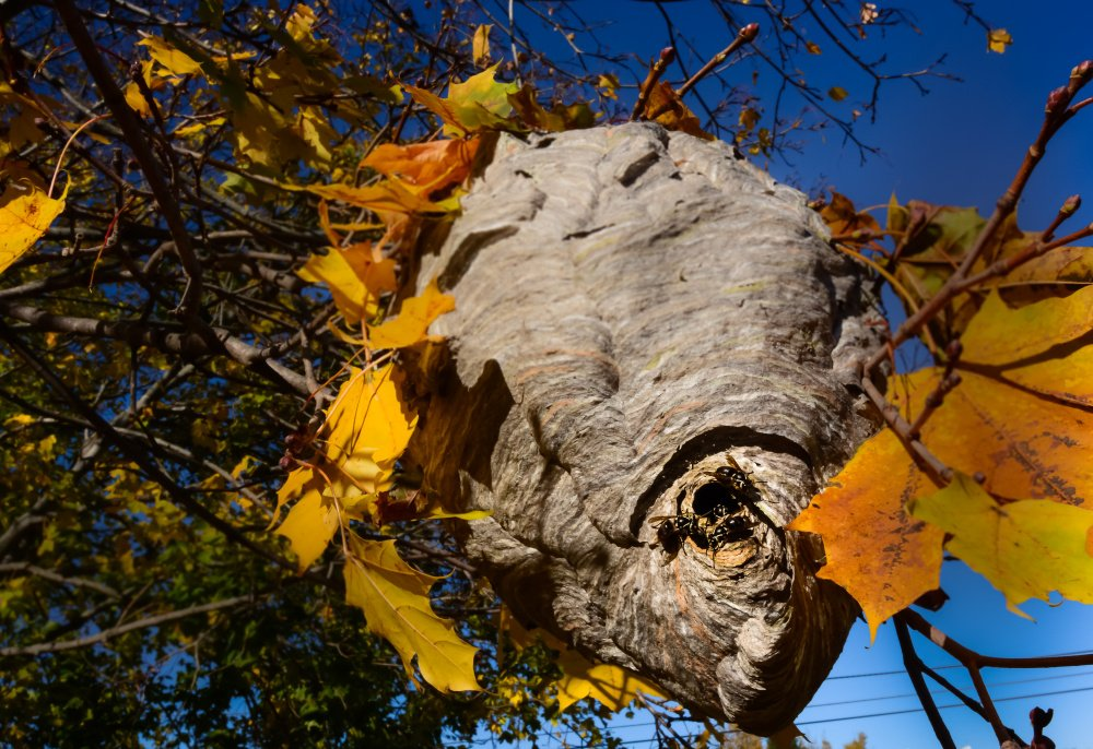 Ann Blanchard considers herself lucky that she never was stung over the summer by the denizens of this huge hornet nest that only recently became visible after the leaves fell off the maple tree in her Scarborough yard. And somewhere in that structure, there's a fertiized queen about to sustain the species come next year.
