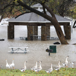 Geese walk along the edge of floodwater near Dallas on Friday. The area has already set a record for annual rainfall with 55.23 inches, and more on the way.