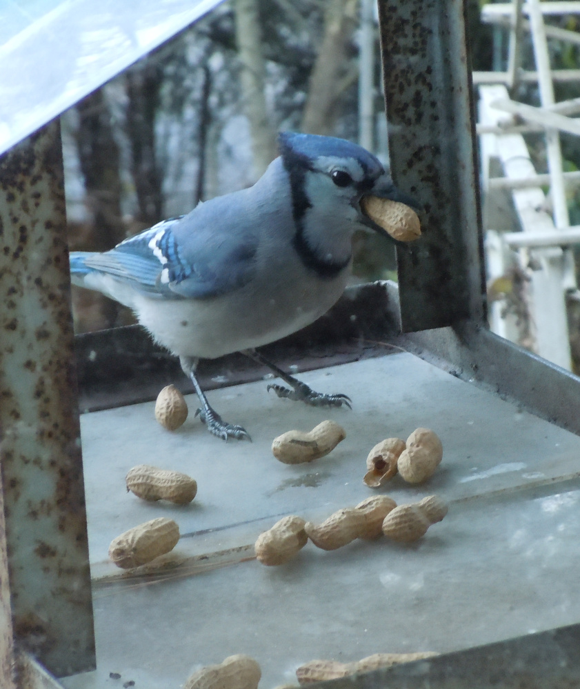 The feeder at Bob Wilson's South Portland home is crowded, but freeloading critters – including a blue jay, a cheeky chipmunk and a squirrel can always find room.