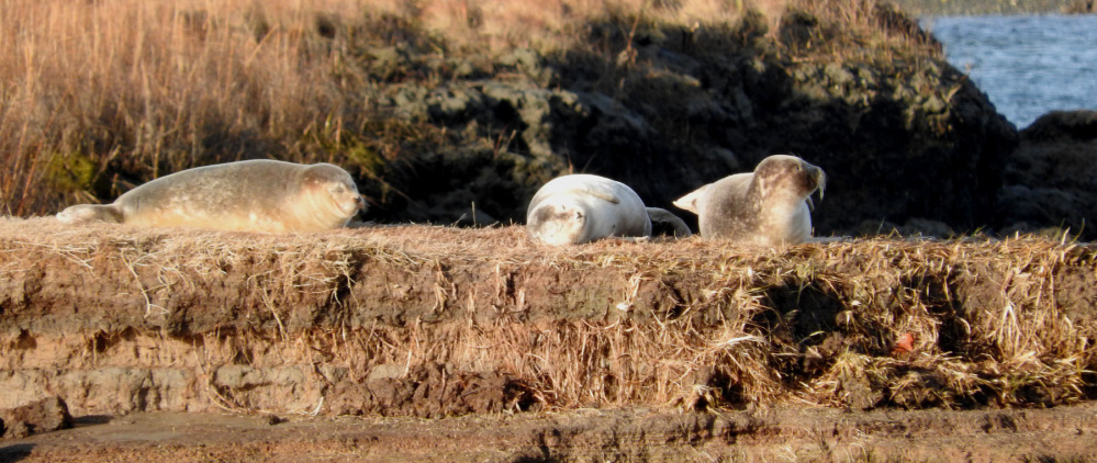 Seals aren't really social animals, but a sunny resting spot such as this one at Drakes Island in Wells will attract any number of them. By Kristen Holmberg of Kennebunk.