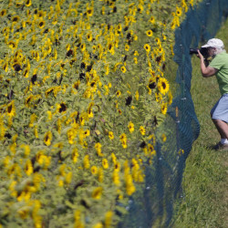 "A visitor photographs a field at Lyman Orchards in Middlefield, Conn., where about 350,000 giant sunflowers grow. A business analyst says many farms extend through the fourth generation of family ownership but to have a farm make it to the ninth generation, as the Lyman family hopes to do, is ""off the charts."""