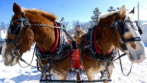 Staff photo / ANDY MOLLOY Butch Durgin, of West Sumner, musters his team of Belgians during the Windsor Historical Society's annual sleigh ride Sunday at the Windsor Fairgrounds.  Durgin owns Meadow Creek Farm.