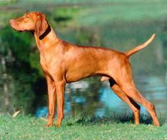 This Hungarian Vizsla is similar to the dog police are searching for after an accident in Island Falls. Facebook photo
