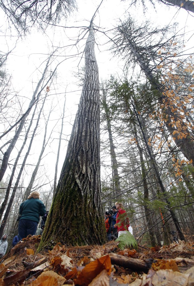 Scientists, forestry officials and members of the American Chestnut Foundation behold the record specimen off Route 5 in Lovell on Wednesday. The species was almost wiped out by a parasite in the 20th century.