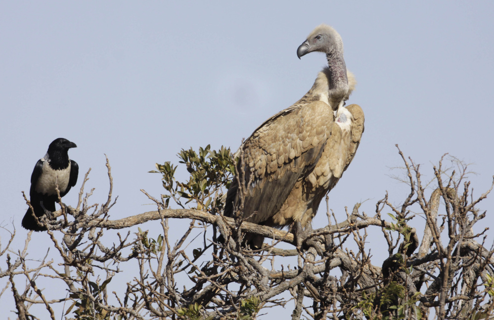 "The Cape vulture, right, is one of the species threatened with extinction in Africa as the birds' numbers drop because primarily due to poaching and poisoning. To get help, ""You have to be creative,"" said Masumi Gudka, a Kenya-based conservationist."