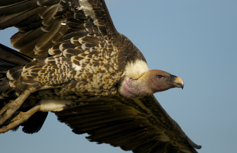 Birds like this Rueppell's vulture are in danger in part because of collisions with electrical equipment.