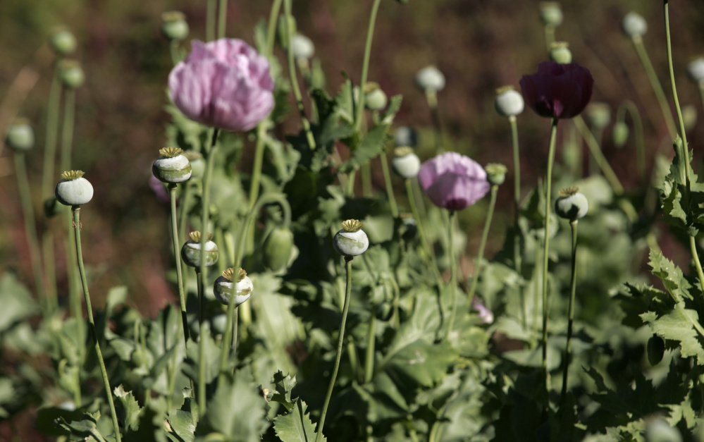 The heroin trail begins in the poppy fields of Latin America, like the one below in the Mexican state of Sinaloa, where poppies are a cash crop for farmers. After processing, it crosses the border and makes its way to cities – and veins – across the U.S., including Portland, top, near the end of the pipeline in the Northeast.