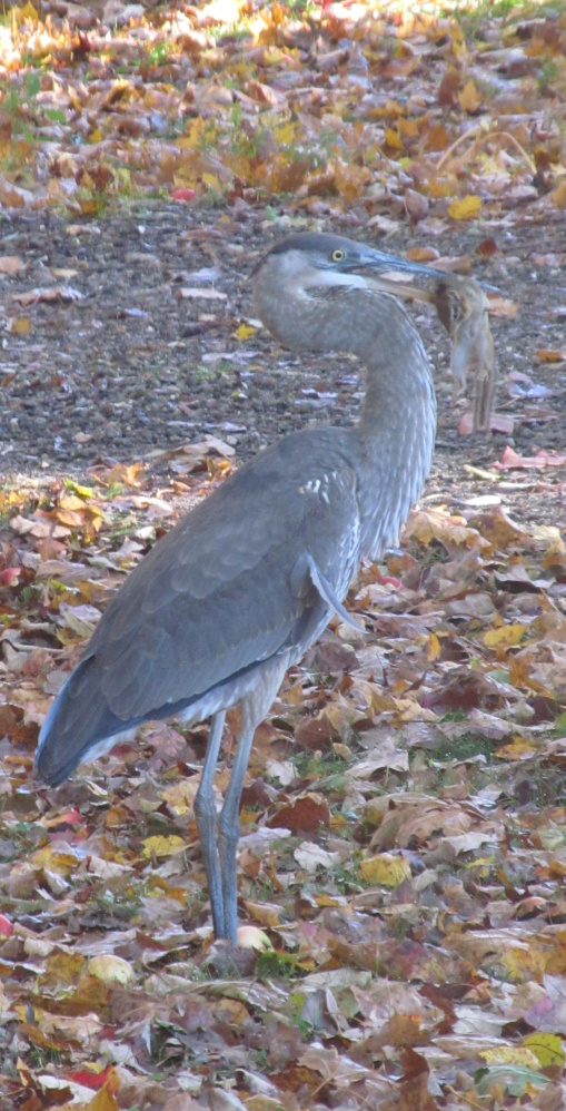 Turns out herons don't just eat fish – something the chipmunk learned too late while Rick Hendrick of Falmouth was careful not to disturb nature's food chain in operation, no matter how unappealing it at times may seem.