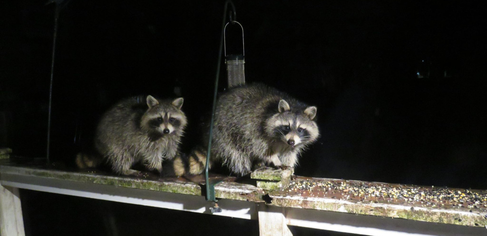 Cathy Wilkie Conley says five baby raccoons were born near her Alfred house, and these must be the late bloomers as the others have since moved on, perhaps finding the garbage cans and bird feeders greener elsewhere.